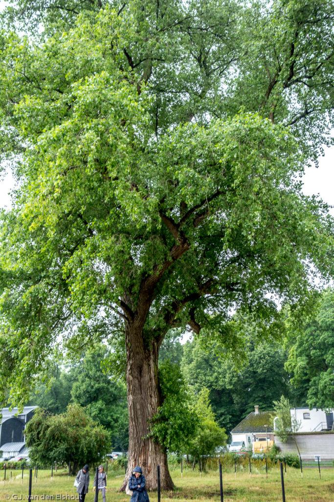 populus Marilandica